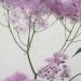 pigamon à feuilles d'ancolies