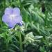 polémoine bleue