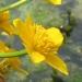 Ranunculaceae > Caltha palustris - Populage