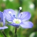 Plantaginaceae > Veronica aphylla - Véronique à tige nue