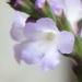 Verbenaceae > Verbena officinalis - Verveine officinale