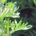 Asteraceae > Artemisia absinthium - Absinthe