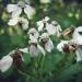 Asteraceae > Achillea macrophylla - Achillée à grandes feuilles