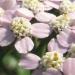 Asteraceae > Achillea millefolium - Achillée millefeuille