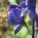 Ranunculaceae > Aconitum napellus - Aconit napel
