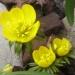 Ranunculaceae > Eranthis hyemalis - Aconite d'hiver