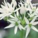 Amaryllidaceae > Allium ursinum - Ail des ours