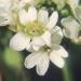 Brassicaceae > Berteroa incana - Alysson blanc