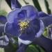 Ranunculaceae > Aquilegia alpina - Ancolie des alpes