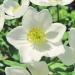 Ranunculaceae >Anemone narcissiflora - Anémone à fleurs de narcisse