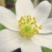 Ranunculaceae > Anemone nemorosa - Anémone des bois