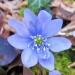 Ranunculaceae > Hepatica nobilis - Anémone hépatique