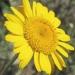 Asteraceae > Anthemis tinctoria - Anthemis des teinturiers