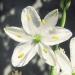 Asparagaceae > Anthericum ramosum - Anthéricum ramifié
