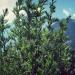 Asteraceae > Artemisia vulgaris - Armoise
