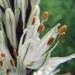Asphodelaceae > Asphodelus albus - Asphodèle blanc