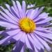 Asteraceae > Aster alpinus - Aster des Alpes
