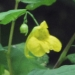 Balsaminaceae > Impatiens noli tangere - Balsamine des bois