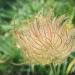 Rosaceae > Geum montanum - Benoite des montagnes