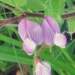 Fabaceae > Ononis rotundifolia - Bugrane à feuilles rondes