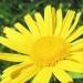 Asteraceae > Buphthalmum salicifolium - Buphtalme à feuilles de saule