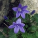 Campanulaceae > Campanula portenschlagiana - Campanule des murailles