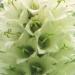 Campanulaceae > Campanula thyrsoides - Campanule en thyrse