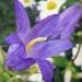 Campanulaceae > Campanula trachelium - Campanule gantelée
