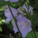 Campanulaceae > Campanula persicifolia - Campanules à feuilles de pêcher