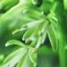 Brassicaceae > Cardamine impatiens - Cardamine impatiente