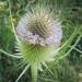 Caprifoliaceae > Dipsacus fullonum - Cardère sauvage
