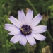 Asteraceae > Catananche caerulea - Catananche