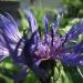 Asteraceae > Centaurea montana - Centaurée des montagnes
