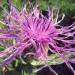 Asteraceae > Centaurea nervosa - Centaurée nervée