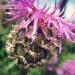 Asteraceae > Centaurea scabiosa - Centaurée scabieuse