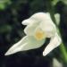 Orchidaceae > Cephalanthera longifolia - Céphalanthère à feuilles étroites