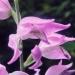 Orchidaceae > Cephalanthera rubra - Céphalanthère rouge