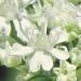 Apiaceae > Chaerophyllum hirsutum - Cerfeuil hirsute