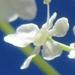 Apiaceae > Anthriscus sylvestris - Cerfeuil sauvage