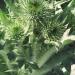 Asteraceae > Onopordum acanthium - Chardon aux ânes