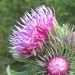 Asteraceae > Carduus personata - Chardon bardane