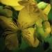 Papaveraceae > Chelidonium majus - Chélidoine