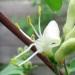 Caprifoliaceae > Lonicera xylosteum - Chèvrefeuille des haies