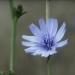 Asteraceae > Cichorium intybus - Chicorée
