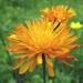 Asteraceae > Crepis aurea - Crépide orangée