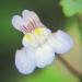 Plantaginaceae > Cymbalaria muralis - Cymbalaire des murs