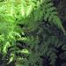 Dryopteridaceae > Cystopteris montana - Cystoptéris des montagnes