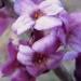Thymelaeaceae > Daphne mezereum - Daphné bois-gentil