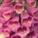 Scrophulariaceae > Digitalis purpurea - Digitale pourpre