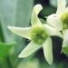 Asclepiadaceae > Vincetoxicum hirundinaria - Dompte-venin officinal